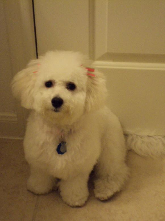 Grooming a Bichon Frise