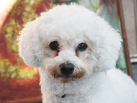 This cute little dog has Bichon Frise tear stains