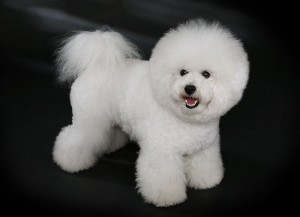 Bichon Frise grooming is a lot of work to get ready for dog shows.