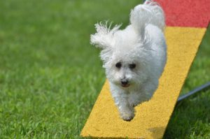 Agility training for dogs like this Bichon is great fun!