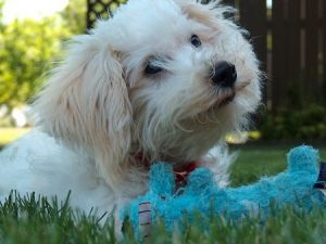 Bichon Frise puppy care