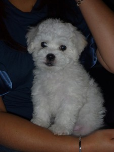 Your dog should not have Bichon Frise dog tear stains.
