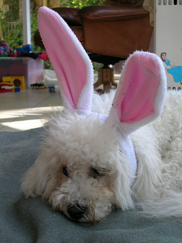 Bichon Frise in bunny ears for a Halloween dog party.