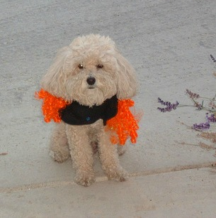Cute Bichon Frise in a Halloween costume for a Halloween dog party