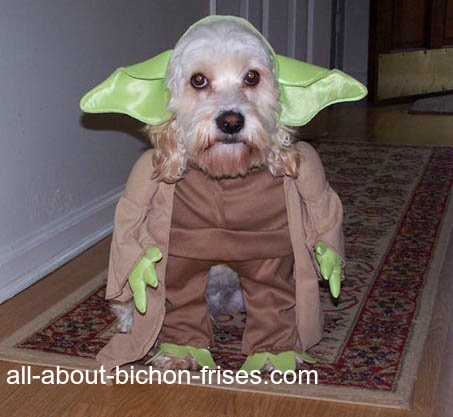 Bichon Frise dressed in Halloween costume