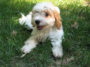 Cute Bichon Frise mix puppy lying in the grass