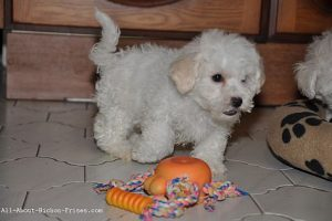 bichon puppy with indestructible dog toys