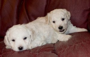 Puppies get salmonella more often than older dogs