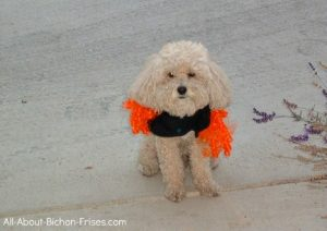 Bichon Frise in dog Halloween costume