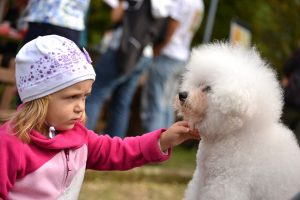 Bichon Frises are gentle, even with small children like this cute little girl.