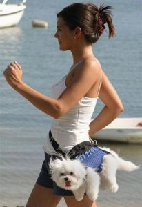 Bichon Frise in fanny pack, choosing a dog breed for you