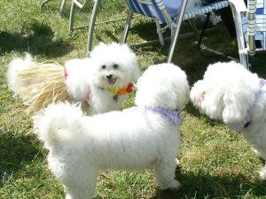 Dog socialization of several cute Bichon Frise dogs