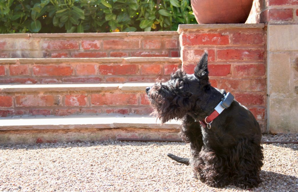 Scottish terrier scratching because of canine food allergies