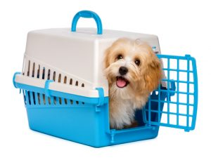 Crate training a puppy, havanese