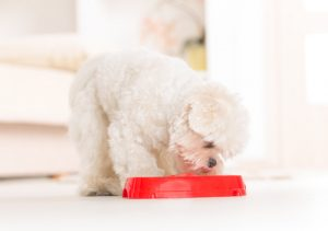 Maltese puppy eating healthy dog diet food from a bowl.