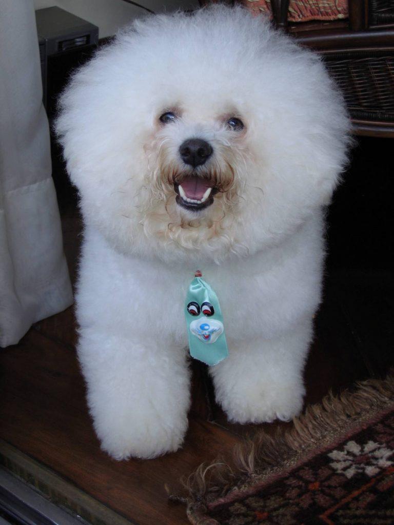 Holistic dog care for Bichon Frises