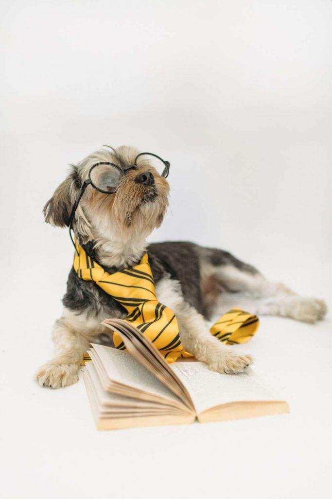 Bichon mix dog with glasses