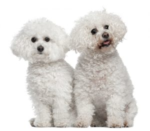 Bichon Frises, 9 and 5 years old