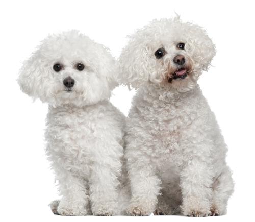 Senior Dog Health in Bichon Frises | Keeping Your Old Dog