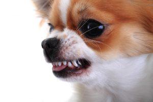 Aggressive Chihuaua