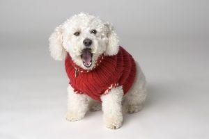 Bichon Frise in red jacket, barking