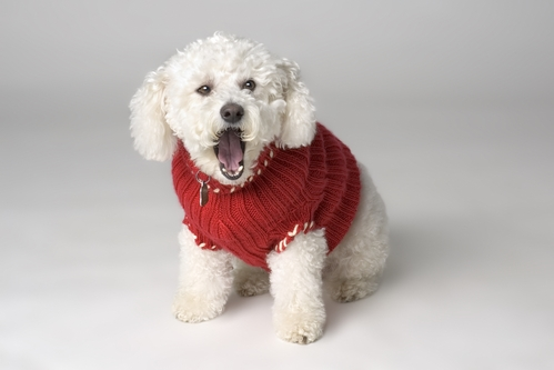 Bichon Frise in red jacket, barking and very much in need of dog barking training.