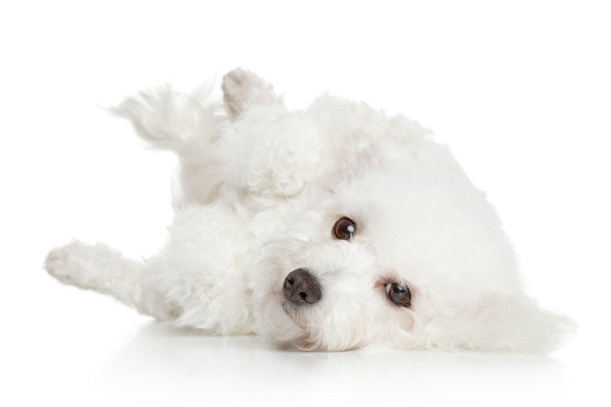 Puppy Grooming For Bichon Frise Puppies Tips On How To