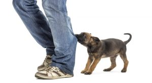 Puppy biting pants leg