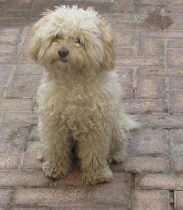 Bichon Frise with bladder stones in dogs