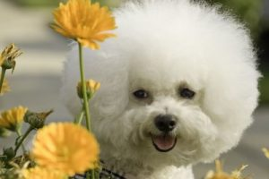 Bichon frises are very sensitive to scents.