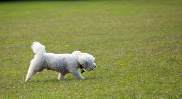 A dog going blind, walking in grass