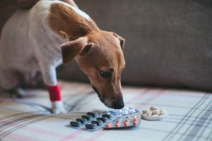 Pain relief for dogs may include medications,, shown here with a dog