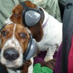 Two dogs with Mutt Muffs to prevent dog hearing loss