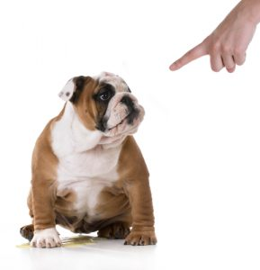 bull dog with submissive urination who peed on the floor