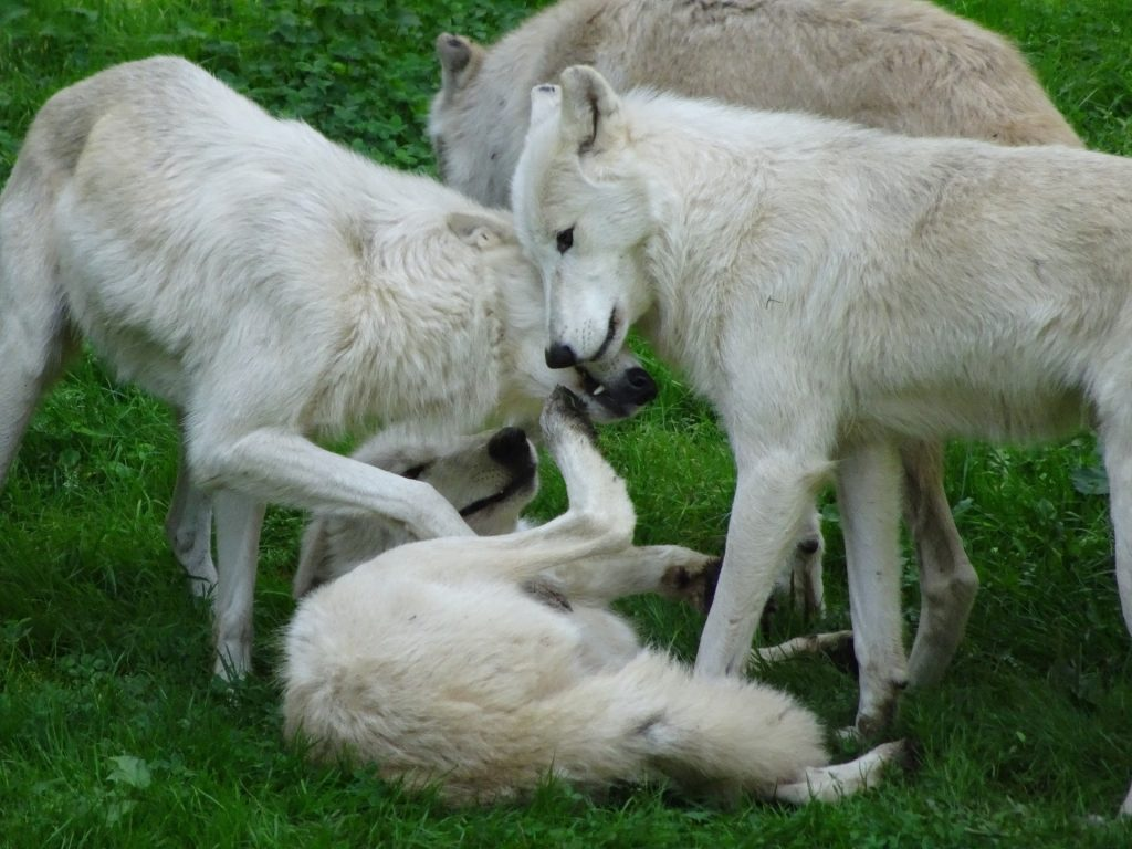 White wolves who will work out which ones will be dominant