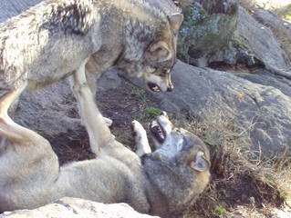 Wolves fighting for position in the pack