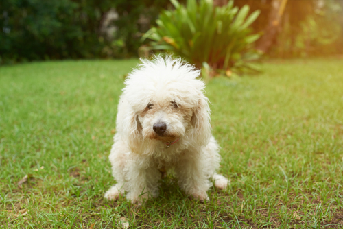 Small white dog straining to poop, suffering from canine constipation.