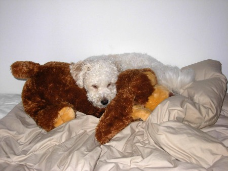 Bichon Frise puppy sleeping with stuffed toy.