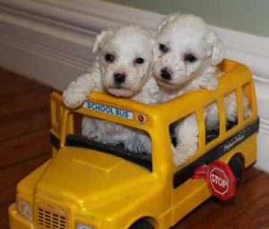 Two Bichon Frise puppies in play school bus