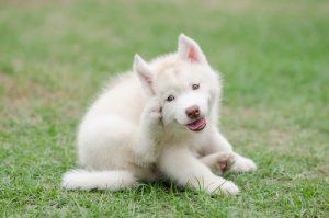 puppy scratching because of dog dandruff