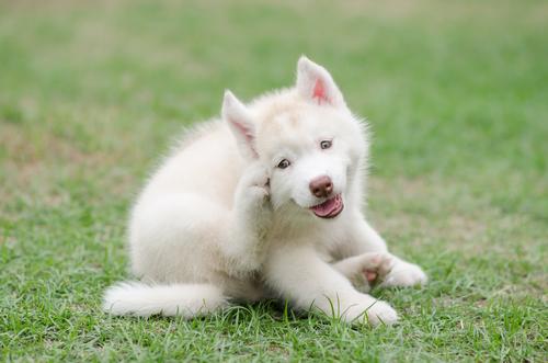 Dog Dandruff