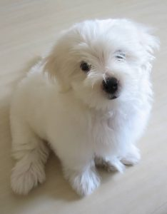 Little Bichon Frise puppy who may need to be neutered soon