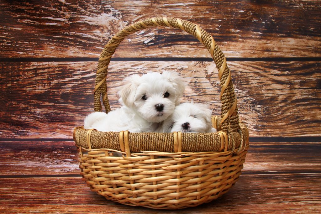 Two Bichon puppies in a basket together