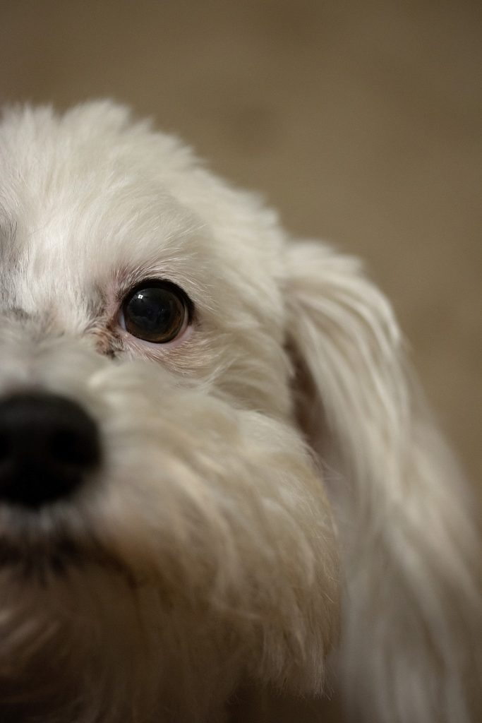 Bichon puppy who has been vomiting
