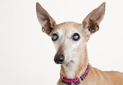 Cataracts in dogs are cloudy to look at, like this Italian Greyhound's