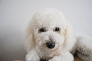 Distemper in dogs often strikes little puppies like this Bichon Frise.
