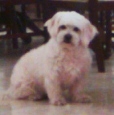 Older Bichon Frises like this one tend to have more canine skin cancer than younger dogs.