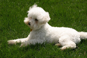Bichon Frise lying in the grass