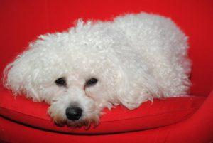 Bichon Frise with dog flu