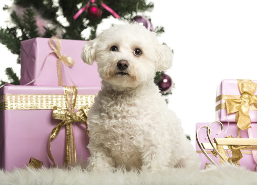 Bichon Frises love holidays like Christmas